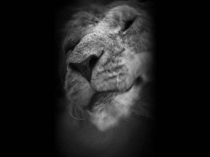 wilikit-wilfrid-huguenin-virchaux-photo-safari-thoiry-2013-01-lion