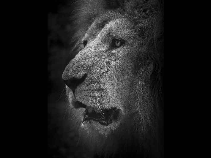 wilikit-wilfrid-huguenin-virchaux-photo-safari-thoiry-2013-02-lion