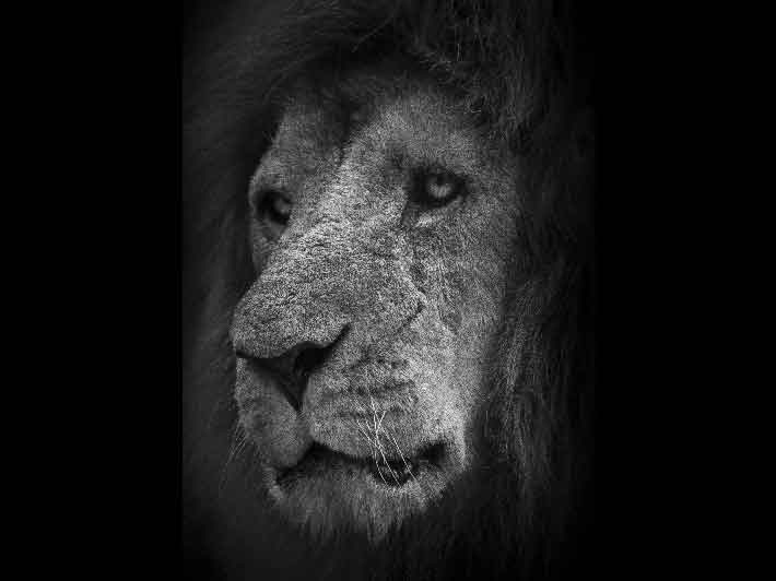 wilikit-wilfrid-huguenin-virchaux-photo-safari-thoiry-2013-03-lion