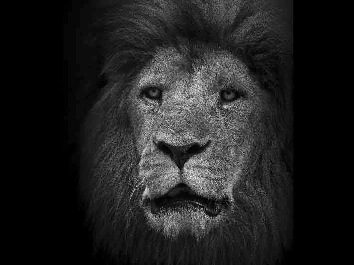 wilikit-wilfrid-huguenin-virchaux-photo-safari-thoiry-2013-04-lion