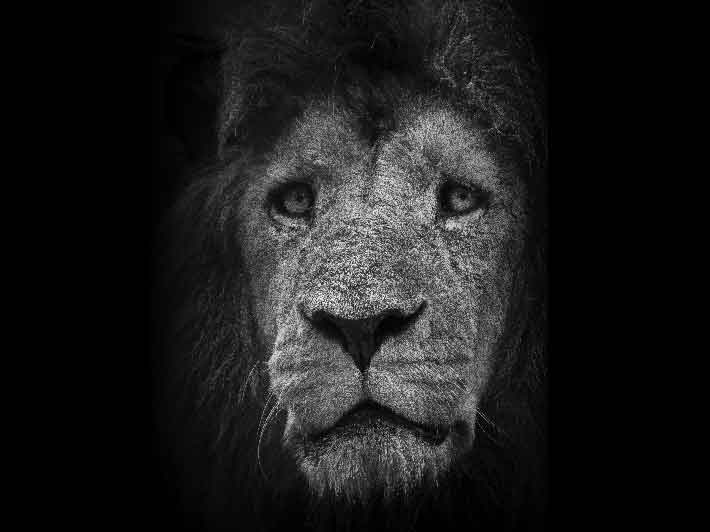 wilikit-wilfrid-huguenin-virchaux-photo-safari-thoiry-2013-05-lion