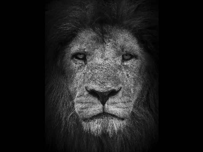 wilikit-wilfrid-huguenin-virchaux-photo-safari-thoiry-2013-06-lion