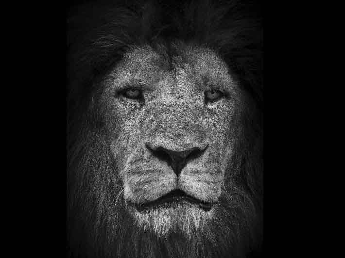 wilikit-wilfrid-huguenin-virchaux-photo-safari-thoiry-2013-07-lion