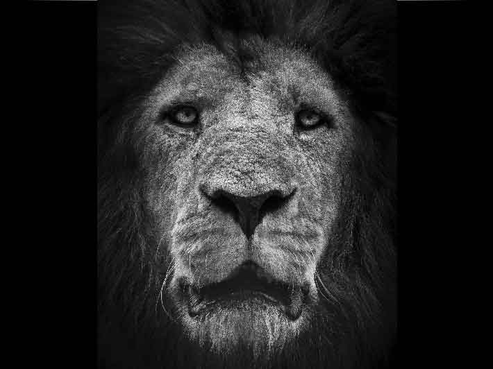 wilikit-wilfrid-huguenin-virchaux-photo-safari-thoiry-2013-08-lion