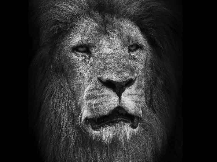 wilikit-wilfrid-huguenin-virchaux-photo-safari-thoiry-2013-09-lion