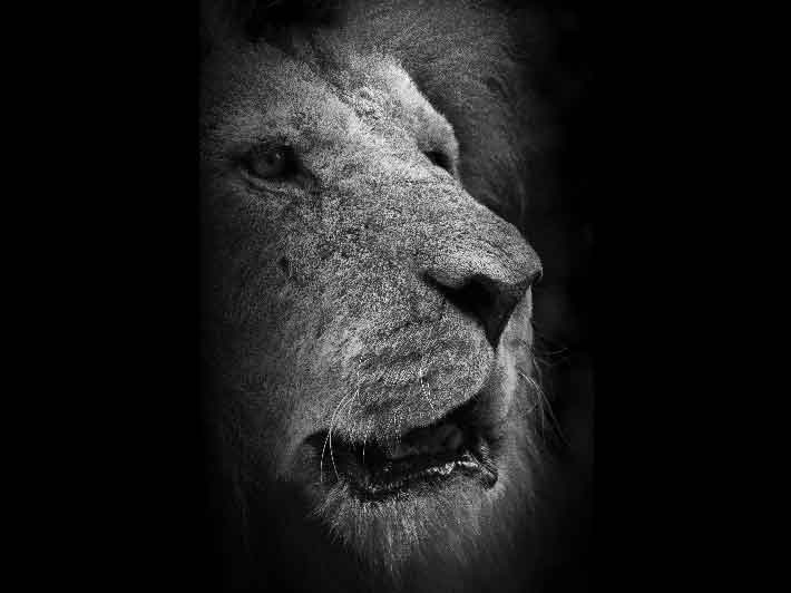 wilikit-wilfrid-huguenin-virchaux-photo-safari-thoiry-2013-10-lion